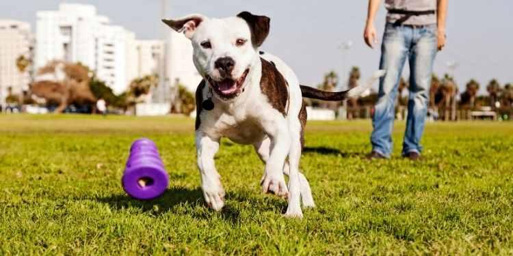 pitbull jugando con su juguete de plastico para morder