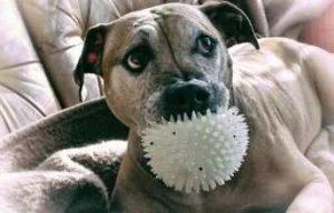 pitbull mordiendo su juguete