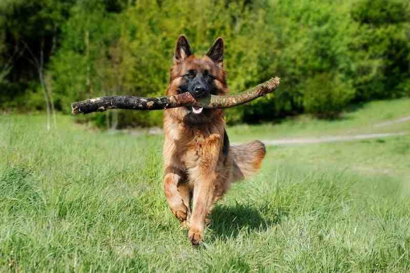 juguetes para pastor aleman comprar ofertas barato accesorios perros pastor aleman opiniones adiestramiento para perros pastor aleman