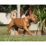 juguetes para perros bull terrier comprar ofertas barato accesorios perros bull terrier opiniones adiestramiento para perros bull terrier