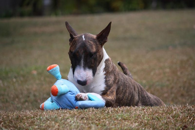 juguetes para perros bull terrier comprar ofertas barato accesorios perros bull terrier opiniones adiestramiento para perros bull terrier comprar