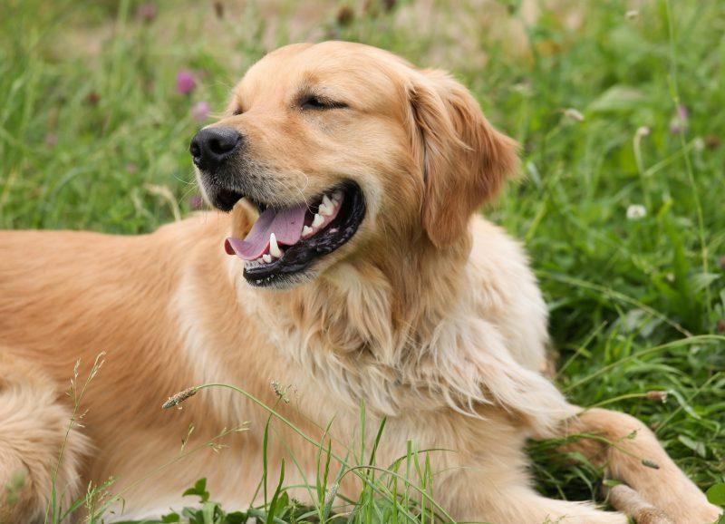juguetes para perros golden retriever comprar ofertas opiniones barato perros golden retriever accesorios adiestramiento para golden retriever
