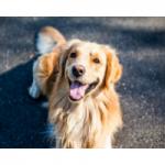 juguetes para perros golden retriever comprar ofertas opiniones barato perros golden retriever accesorios adiestramiento para perros golden retriev