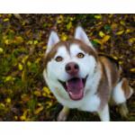 juguetes para perros huskie comprar ofertas opiniones barato perros huskie accesorios adiestramiento para perros huskie tienda online