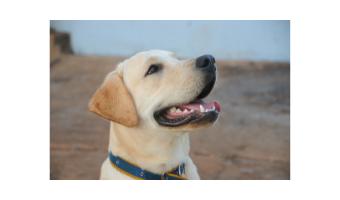 juguetes para perros labradores comprar ofertas opiniones barato juguetes para labradores
