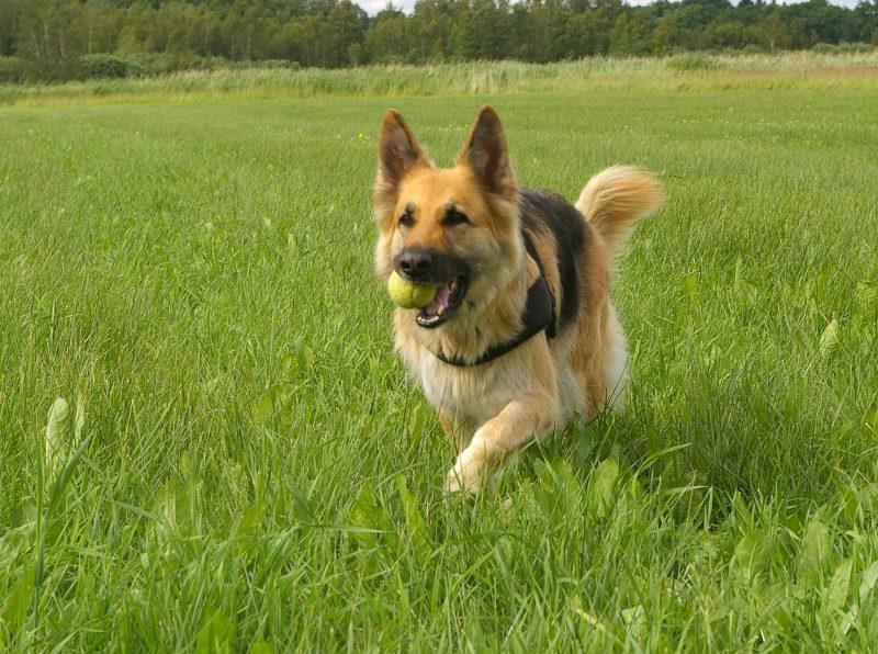 juguetes para perros pastor aleman comprar ofertas barato accesorios perros pastor aleman opiniones adiestramiento para pastor aleman