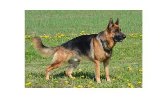 juguetes para perros pastor aleman comprar ofertas barato accesorios perros pastor aleman opiniones adiestramiento para perros pastor aleman compra