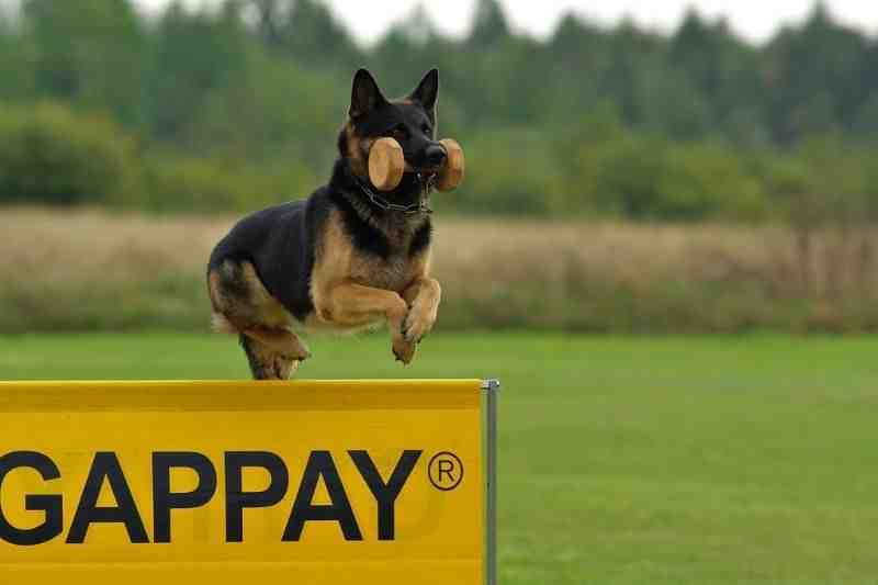juguetes para perros pastor aleman comprar ofertas barato accesorios perros pastor aleman opiniones adiestramiento para perros pastor aleman ofertas