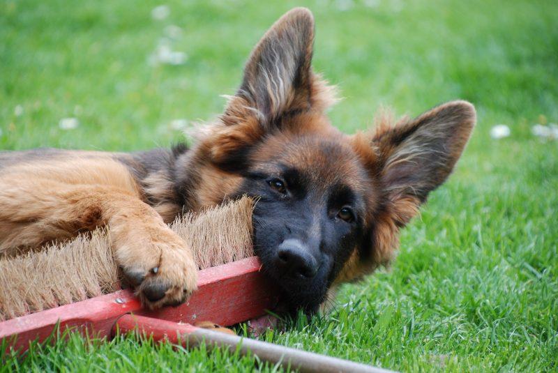 juguetes para perros pastor aleman comprar ofertas barato accesorios perros pastor aleman opiniones juguetes para pastor aleman comprar
