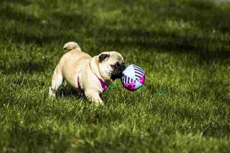 juguetes para perros pug comprar precio oferta opiniones baratos cachorros