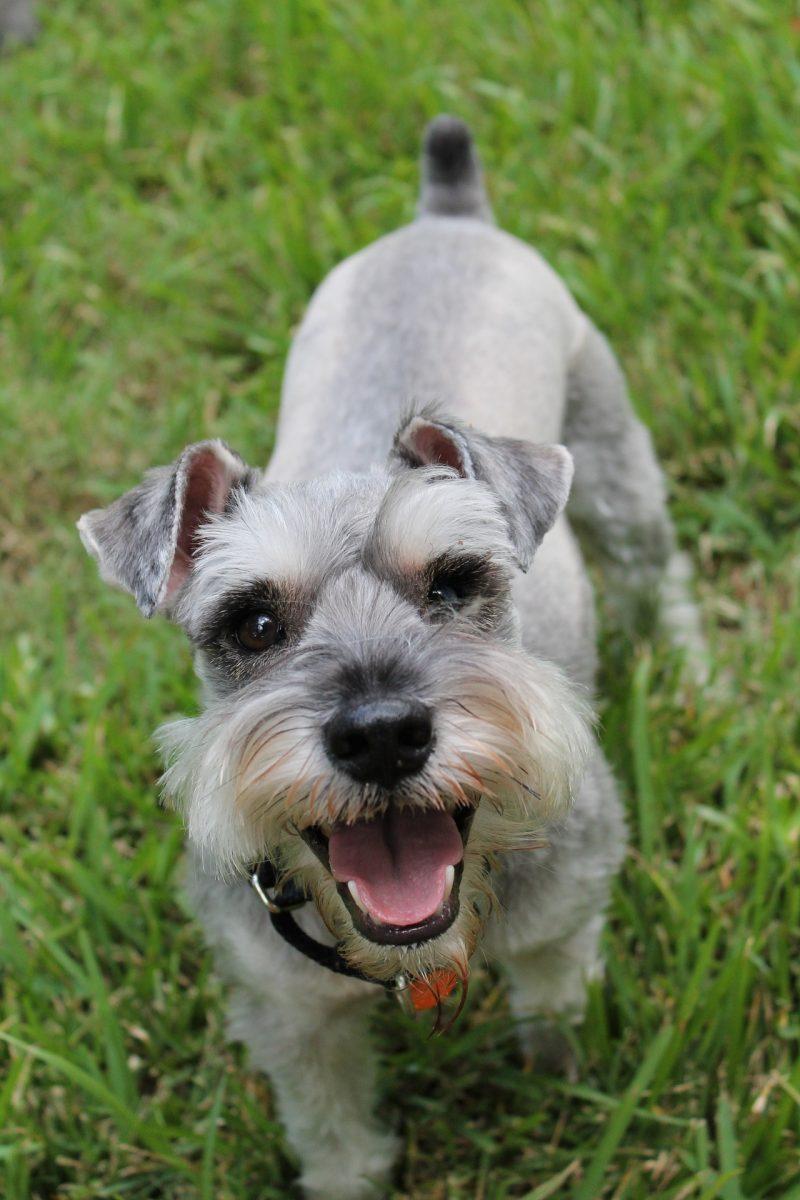 juguetes para perros schnauzer comprar ofertas opiniones barato perros schnauzer accesorios adiestramiento para schnauzer comprar ofertas