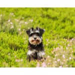 juguetes para perros schnauzer comprar ofertas opiniones barato perros schnauzer accesorios adiestramiento para schnauzer tienda online