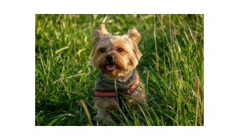 juguetes para perros yorkshire terrier comprar ofertas barato accesorios perros yorkshire terrier opiniones adiestramiento para perros yorkshire terrier