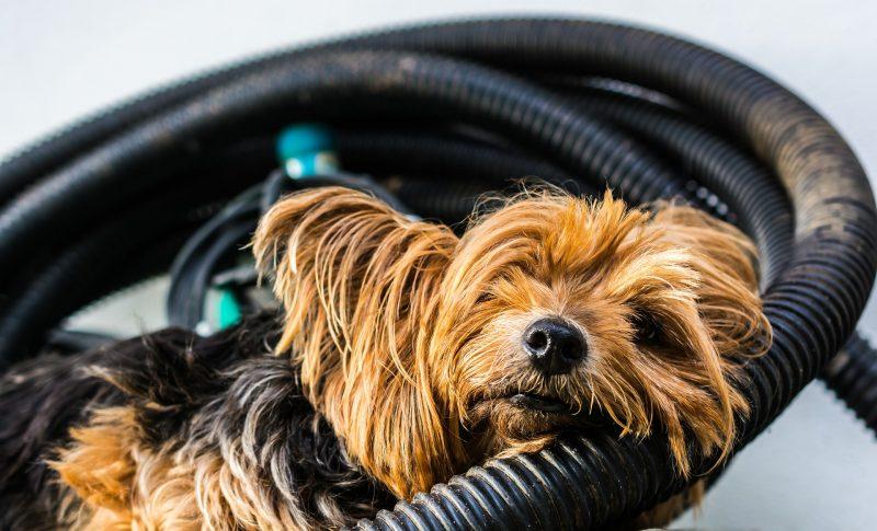 juguetes para perros yorkshire terrier comprar ofertas barato opiniones perros yorkshire terrier accesorios adiestramiento para perros yorkshire terrier