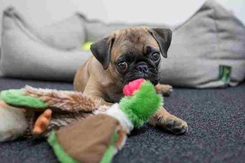 pug juguetes comprar precio oferta opiniones baratos para cachorros