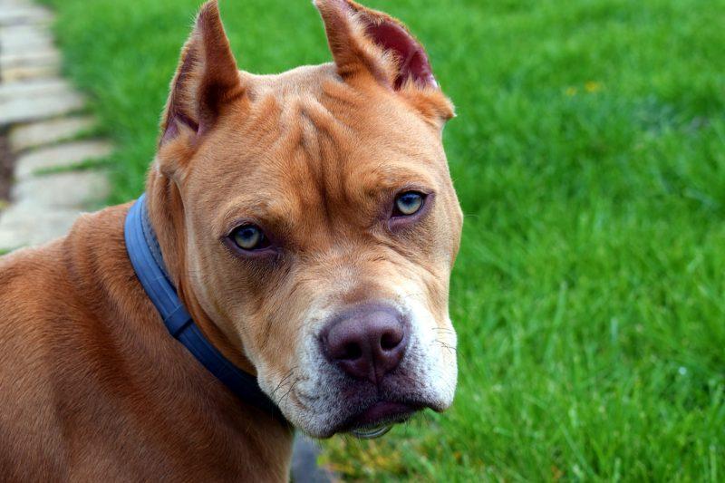 Comprar juguetes para perros de presa precios baratos opiniones pitbull bull terrier american Stanford comprar juguetes para perros pitbull bull terrier american Stanford