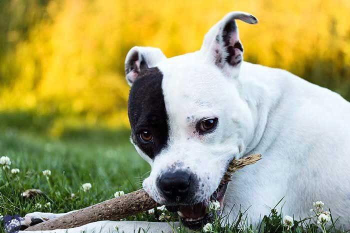 juguetes para perros american standford ofertas comprar opiniones barato perros american standford accesorios para perros american standford baratos