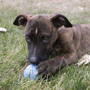 pelotas para perros kong Puppy Ball comprar ofertas precio baratas opiniones pelotas kong Puppy Ball para perros grandes pequeños cachorros de presa pitbull