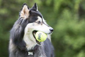 pelotas para perros kong air dog comprar ofertas precios opiniones baratas pelotas kong para perros grandes medianos pequeños cachorros de presa pitbull comprar pelotas para perros kong