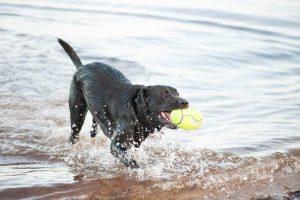 pelotas para perros kong airdog comprar ofertas baratas opiniones comprar pelotas kong para perros cachorros adultos de presa pitbull