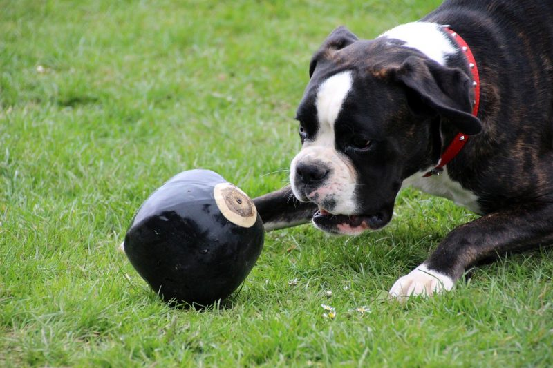 pelotas para perros grandes comprar ofertas precio opinones baratas comprar pelotas para perros grandes pitbull de presa american stanford
