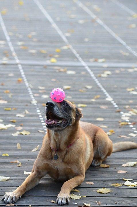 pelotas para perros grandes de presa pitbul malinois comprar pelotas para perros grandes ofertas precios opiniones