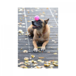 pelotas para perros grandes de presa pitbull malinois american stanford comprar ofertas precios opiniones baratos