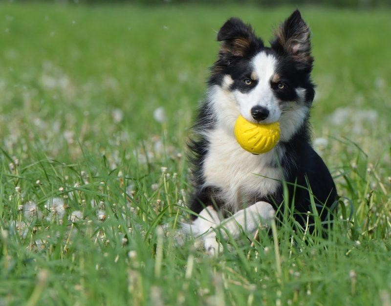 pelotas para perros grandes pitbull de presa, comprar pelotas para perros grandes ofertas precio opiniones baratas las mejores