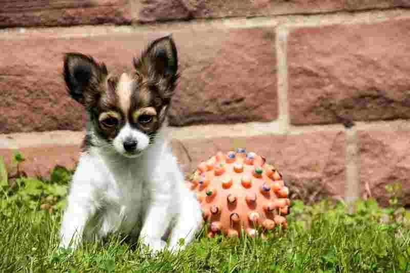 juguetes para cachorros chihuahua comprar precio oferta baratos opiniones