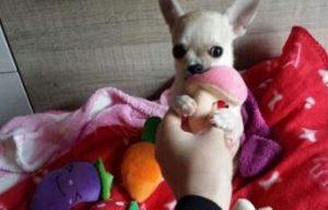 juguetes para chihuahua cachorros peluche los mejores comprar oferta precio catalogo tienda online amazon