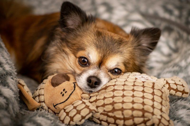 juguetes para perros chihuahua comprar ofertas precios barato opiniones comprar juguetes para perros pequeños chihuahua raza pequeña