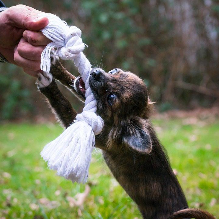 juguetes para perros chihuahua comprar ofertas precios baratos opiniones comprar juguetes para chihuahua perros pequeños de raza pequeña resistentes divertidos