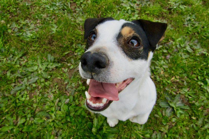 juguetes para perros jack russell comprar ofertas precio opiniones baratos comprar juguetes para jack russell pelotas cuerdas frisbee alfombras de olfato mordedores kong peluches con sonido