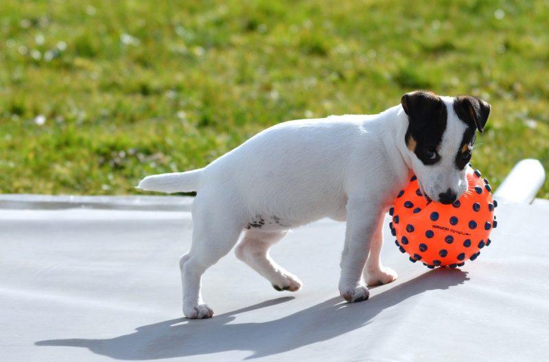 juguetes para perros jack russell comprar ofertas precio opiniones baratos comprar juguetes para jack russell pelotas kong mordedores lanza pelotas freesbee inteligentes