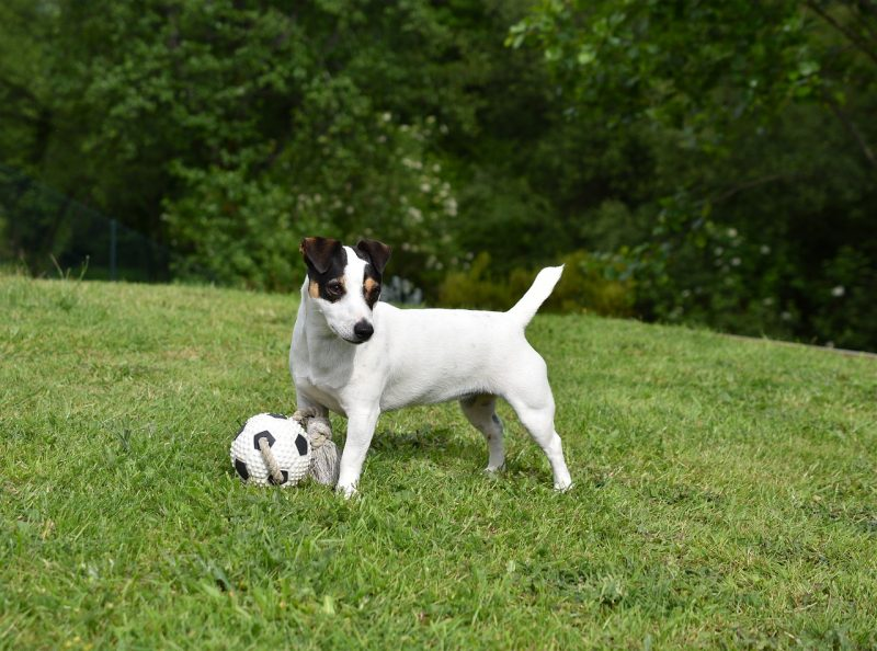 juguetes para perros jack russell comprar ofertas precio opiniones baratos foros comprar juguete para jack russell pelotas fresbee cuerdas resistentes