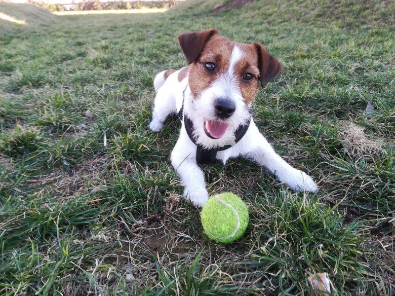 juguetes para perros jack russell comprar precio opiniones ofertas barato comprar juguetes para jack russell resistentes pelotas divertidos consejos cuerdas cachorros