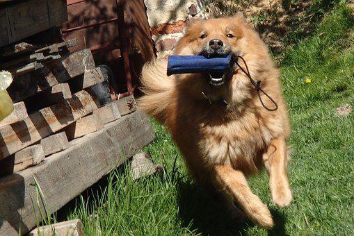 como jugar con tu perro en casa sin juguetes cachorros como jugar con un perro grande pequeño de presa pitbull