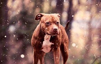 american pitbull terrier tipos de razas de perros pitbull