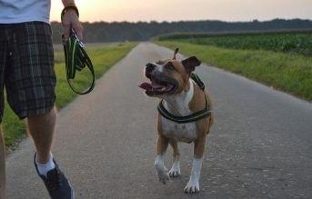 tipos de razas de perros pitbull american staffordshire terrier