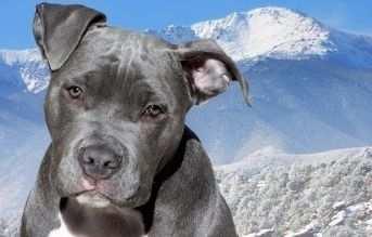 tipos de razas de perros pitbull blue nose pitbull