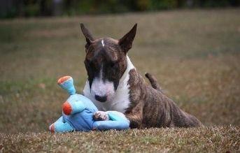 tipos de razas de perros pitbull bull terrier