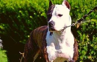 tipos de razas de perros pitbull colby pitbull
