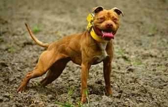 tipos de razas de perros pitbull pitbull game