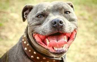 tipos de razas de perros pitbull staffordshire bull terrier