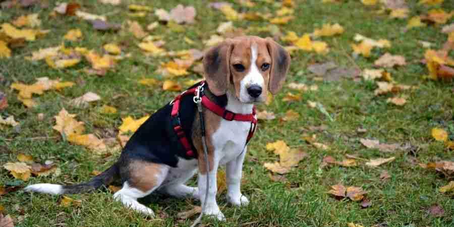Beagle barato