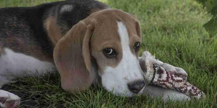 Juguetes casero para beagles