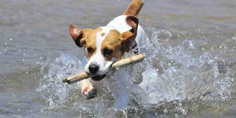 Juguetes para Beagle