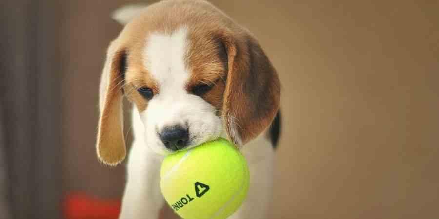 Juguetes para un Beagle cachorro